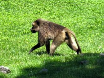 Bronx Zoo en NYC - mono