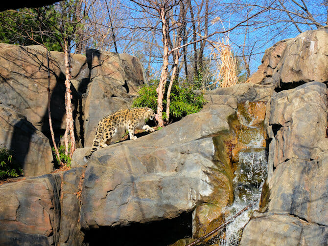 Tickets para el Central Park Zoo - Leopardo de las nieves
