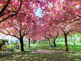 Jardines botánicos en Nueva York - Cerezo en flor